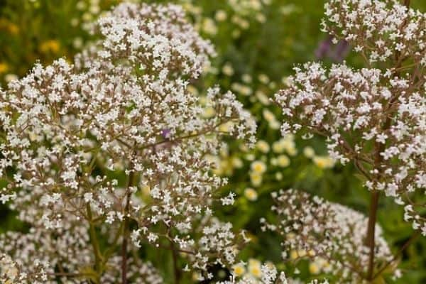Read more about the article How To Use Valerian Flowers