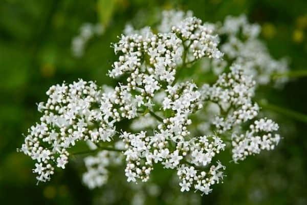 white valerian flower