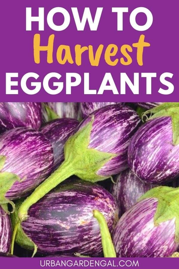 harvesting eggplants