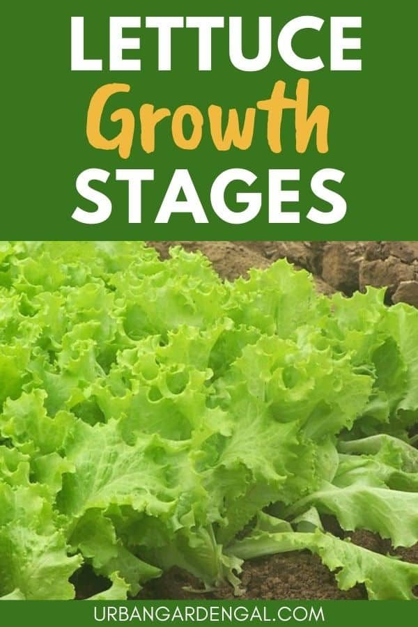lettuce growth stages