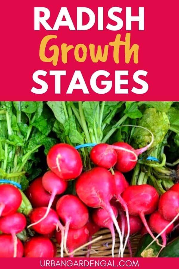 radish growth stages
