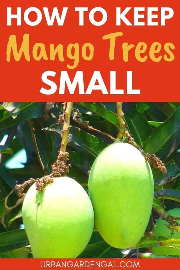 growing a small mango tree
