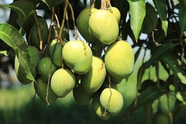 dwarf mango tree