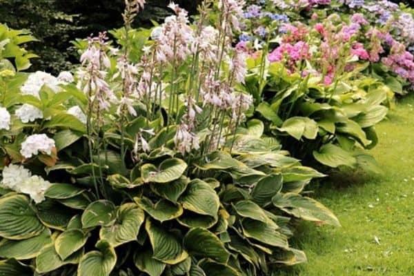 flowering hosta plants