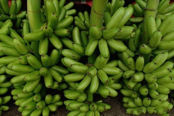 harvesting lady finger bananas