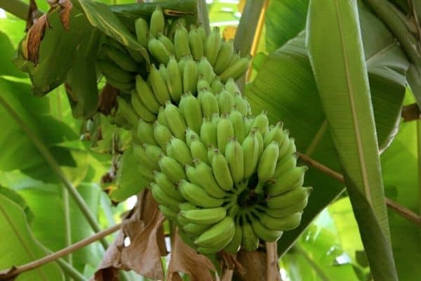 Read more about the article How To Grow Lady Finger Bananas