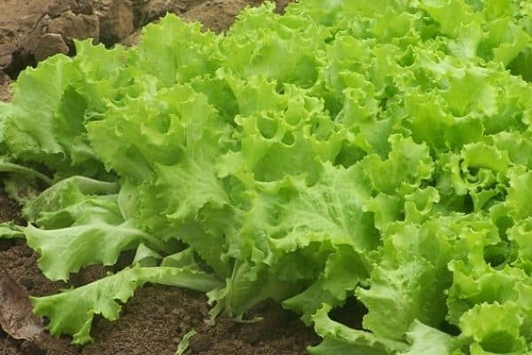 Read more about the article Lettuce Growth Stages