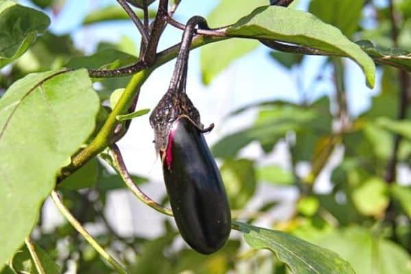 picking eggplants