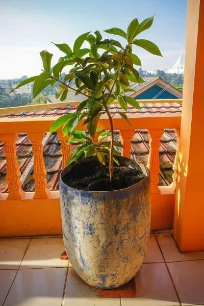 potted mango tree