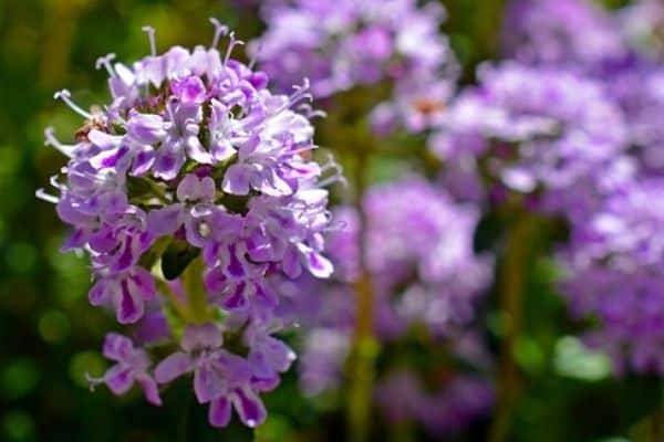 Read more about the article How To Use Thyme Flowers