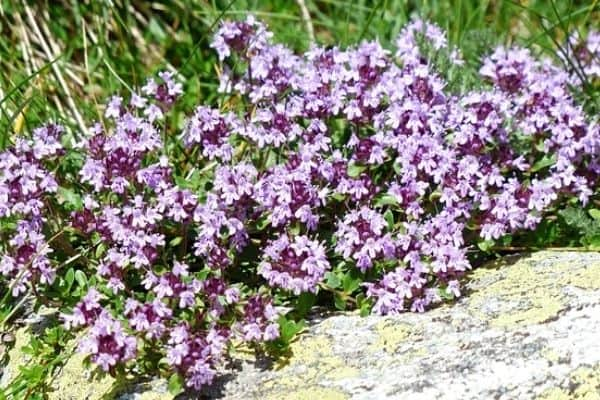 thyme flowers in the garden