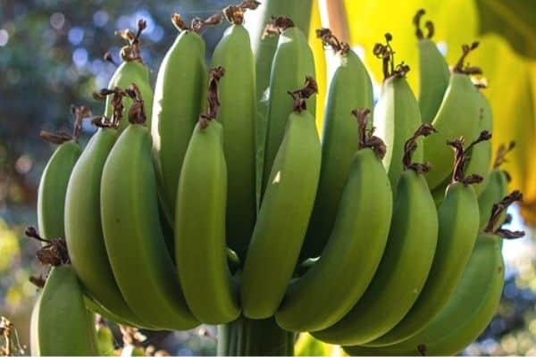 Read more about the article Banana Plant Growth Stages