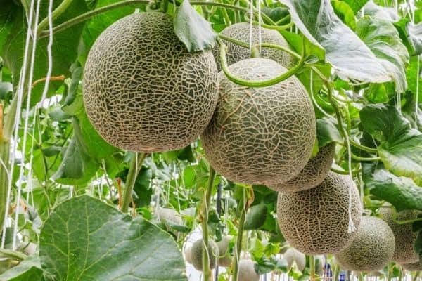 Read more about the article Cantaloupe Growth Stages