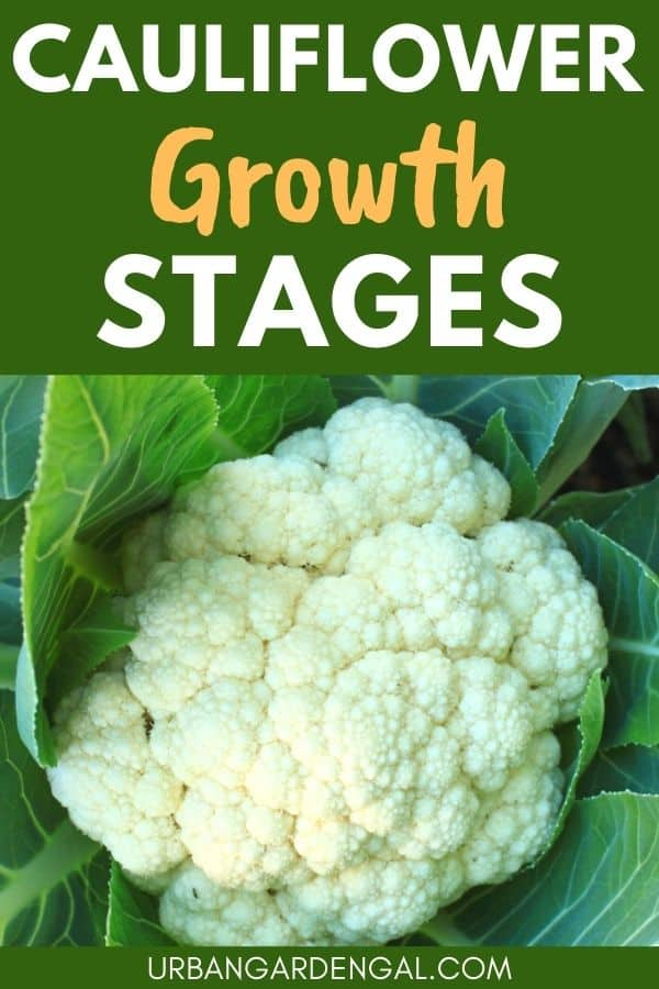 stages of growing cauliflower