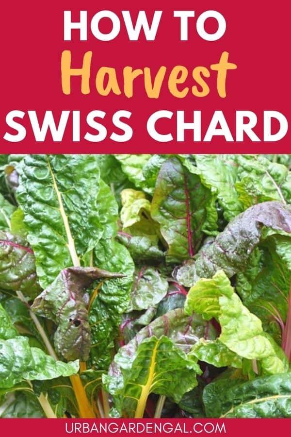 harvesting swiss chard