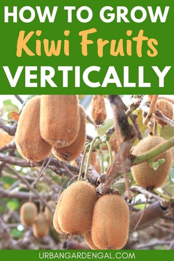 grow kiwi fruits vertically