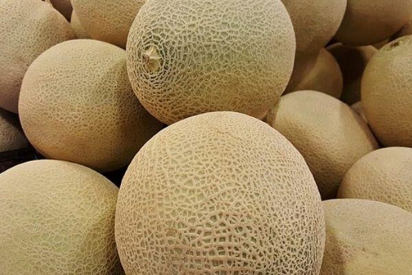 harvesting cantaloupes