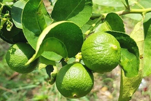 harvesting kaffir lime leaves
