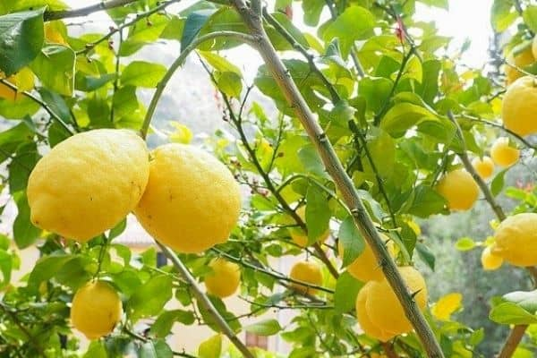 harvesting lemons