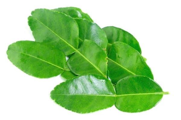 picking kaffir lime leaves