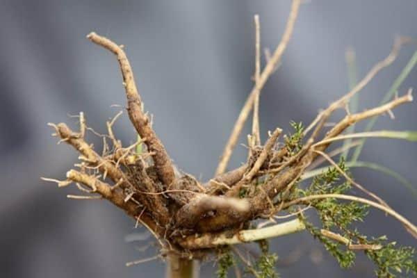 valerian roots
